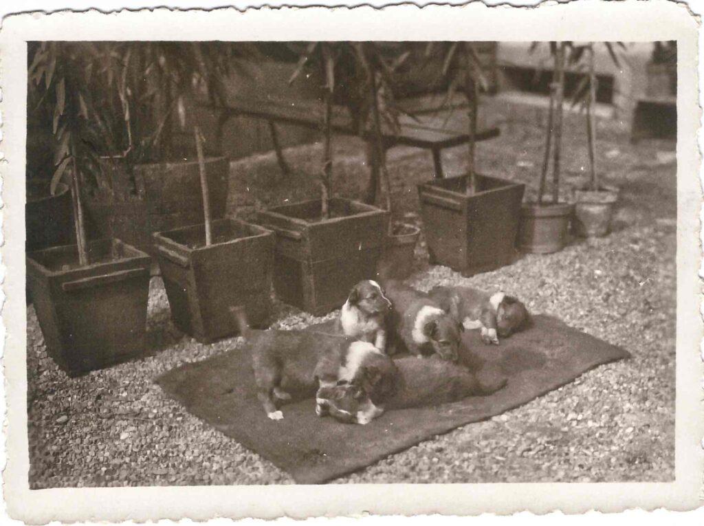Hundezucht Hundewelpen, Ort und Zeit unbekannt